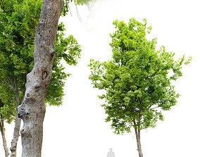 3D model Ulmus minor- Smooth leaf Elm