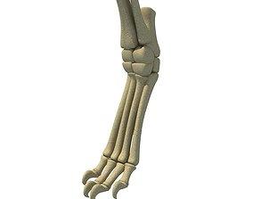 3D model Mammal Animal Leg Bones