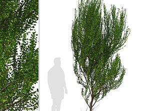 3D Set of Boxleaf Azara or Azara microphylla Trees - 2