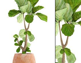 Ficus Lyrata Trees 3D realistic