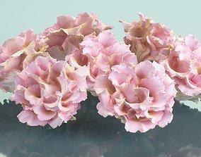 Carnation Clove Pink Dianthus 3D model