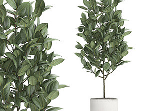 Ficus tree in pots for the interior 611 3D