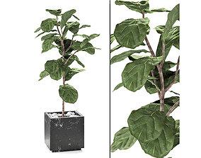 ficus lyrata PLANT EXOTIC 3D model