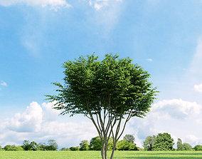 Caragana arborescens 009 v2 AM136 3D