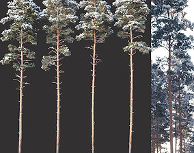 3D Pinus sylvestris Nr8 H24-27m Winter Four tree set