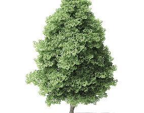 Red Alder Tree 3D Model 12 m