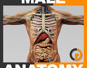 Human Male Anatomy - Body Skeleton Internal 3D model