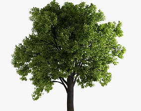 deciduous oak tree 3D model