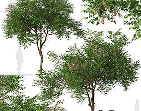 3D model Set of Koelreuteria paniculata or Golden rain 3