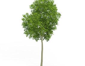 3D Common Beech Fagus sylvatica 11m
