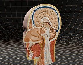 Anatomy head cutaway 3D