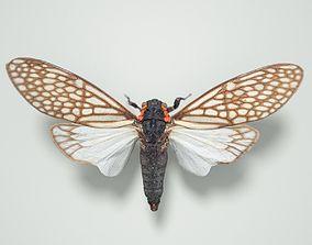 Cicada Ambragaena Palatinus China Insect 3D model