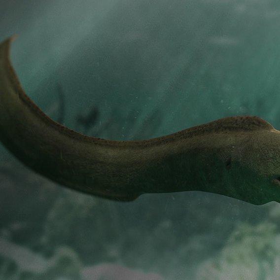 Giant Moray Eel - Gymnothorax Javanicus
