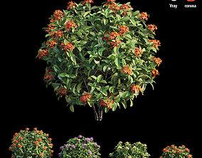 Ixora plant set 15 3D
