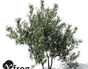 3D XfrogPlants Common Jasmine