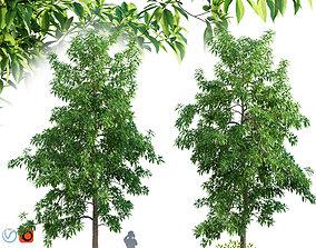 3D Michelia alba-White champaca-Michelia longifolia 01