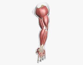 Human Arm Muscle Anatomy 3D model