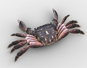 3D model Crab Pachygrapsus