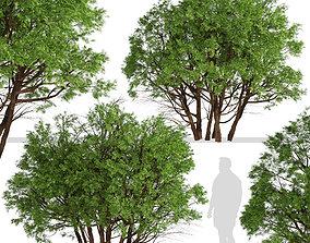 Set of Arborvitae Thuja or Northern white cedar 3D model 3