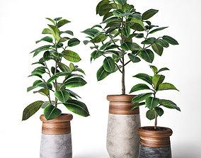 elastica Ficus Elastica 3D model