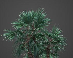 2021 Mazari Palm Collection - Nannorrhops 3D model