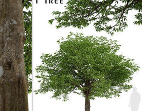 American Hornbeam or Carpinus caroliniana Tree - 1 Tree 3D