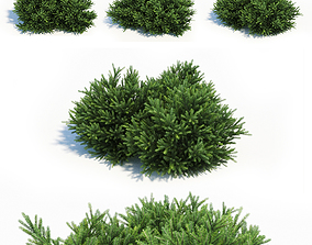 Picea Orientalis Dwarf 3D model