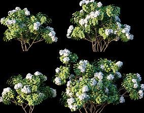 3D model Mussaenda frondosa Linn - Mussaenda pubescens