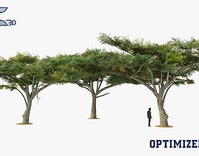 3D model Vachellia Tortilis Tree