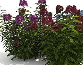 Phlox collection 3D plant