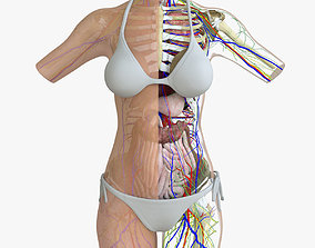 3D model Female Torso Anatomy