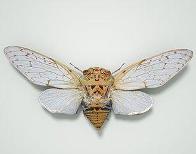 Cicada Platyloma Radah India Insect 3D asset