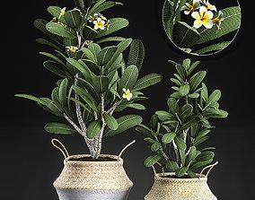 3D Decorative plumeria trees for the interior in basket