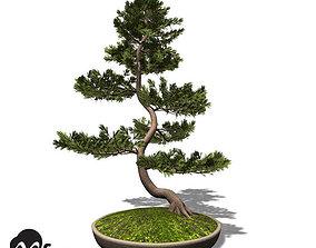 XfrogPlants Scotch Pine - Bonsai 3D model