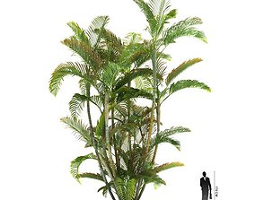 Tall Exotic Plant Dypsis Lutescens 3D model