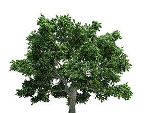 3D model Mature Oak Tree