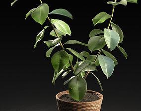 3D model Small Ficus Tree