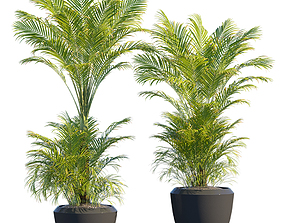 Butterfly palm in pots for outdoor 3D