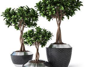 Ficus Microcarpa 3 3D model