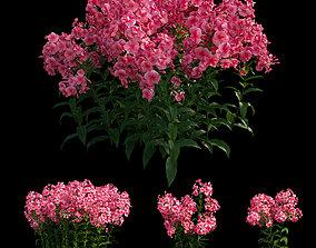 Phlox paniculata red 3D model