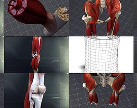 3D Lower Muscular System
