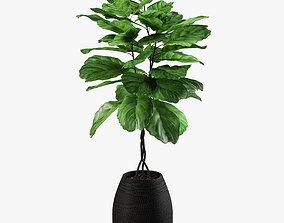 pot-plant ficus lyrata 3D