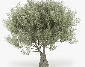 3D Olea europaea 2