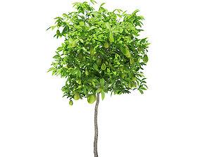 3D model Avocado Tree with Fruits
