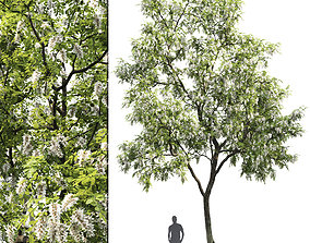 Robinia pseudoacacia 01 H10m 3D model