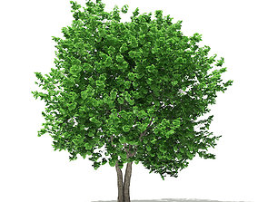 Ginkgo Tree Ginkgo biloba 4m 3 3D model