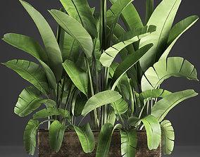 3D Banana palm in a pot 5