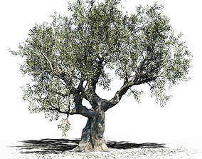 3D model Olea Europea Olive Tree