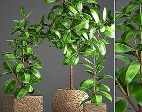 3D model Ficus Robusta tree