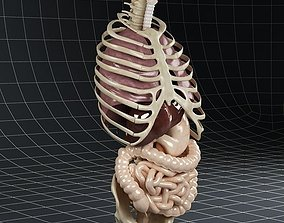 Anatomy Internal Organs 01 3D model